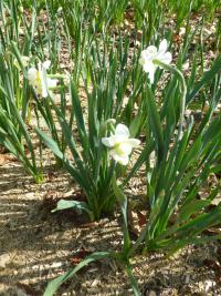 narcis Narcissus  'Cheerfulness'