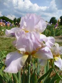 Kosatec bradatý 'May Magic' (Iris barbata elatior)