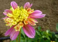 jiřina Dahlia  'Honey'