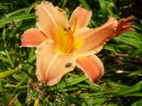 (Hemerocallis hybrida) Denivka 'Canyon Beauty'