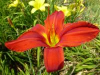 (Hemerocallis hybrida) Denivka 'Apple Tart'