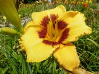 (Hemerocallis hybrida) Denivka 'Blackberry Bandito'