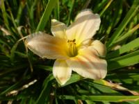 (Hemerocallis hybrida) Denivka 'Catch Me'