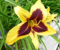 (Hemerocallis hybrida) Denivka 'Bold One'