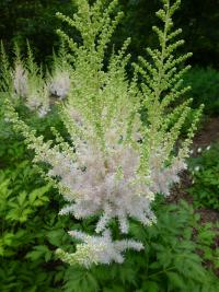 Čechrava čínská 'Milk and Honey' - list (Astilbe chinensis)