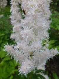 Čechrava čínská 'Milk and Honey' - květ (Astilbe chinensis)