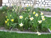 Narcis (Narcissus)