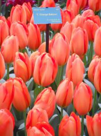 Tulipán Orange Ballon (Tulipa x hybrida)