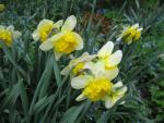 Narcissus  'Corly' - narcis