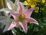 Lilie Party Diamond - LA hybridy (Lilium x hybridum)