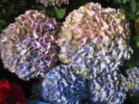 Hydrangea macrophylla   'Magical Four Seasons' - hortenzie velkolistá