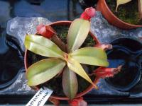 Láčkovka 'Bloody Mary' (Nepenthes)
