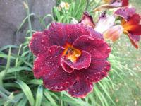 Denivka Night Embers (Hemerocallis hybrida)