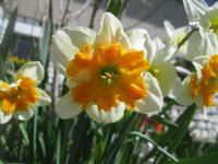 Narcissus x hybridus - narcis Parissienne - Collar narcisy