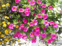 kalibrachoa Calibrachoa  'Celebration Rose'