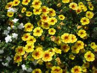 Calibrachoa  'Calita Yellow Red Morn' - kalibrachoa