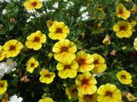 Kalibrachoa Calita Yellow Red Morn (Calibrachoa)