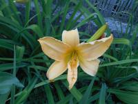 Hemerocallis hybrida  'Big World' - denivka