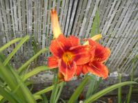 Denivka Holiday Delight (Hemerocallis hybrida)