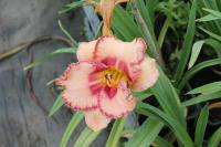 Hemerocallis hybrida  'New Quest' - denivka