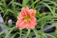Denivka Little Anna Rosa (Hemerocallis hybrida)