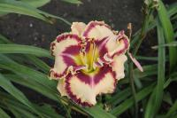 Hemerocallis hybrida  'Born to be Wild' - denivka