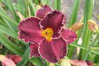 Hemerocallis hybrida  'Buddy's Black Lady' - denivka