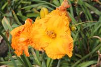 Hemerocallis hybrida  'Over Heated' - denivka