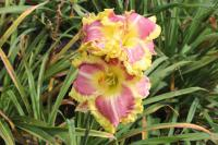 Hemerocallis hybrida  'Sweet Cotton Candy' - denivka