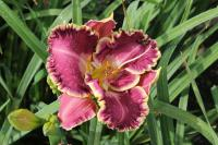 Hemerocallis hybrida  'Jennifer Trimmer' - denivka