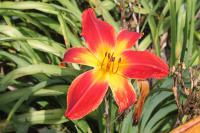 denivka Hemerocallis hybrida  'All American Chief'