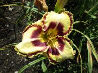 Denivka Kentucky Shape Shifter (Hemerocallis hybrida)