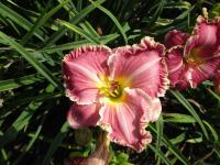 Denivka The Big Picture (Hemerocallis hybrida)