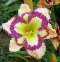 denivka Hemerocallis  'Violet Stained Glass'