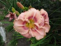 Denivka Mystical Rainbow (Hemerocallis hybrida)