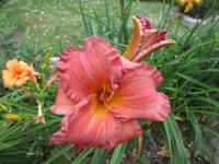 Denivka Smoky Mountain Autumn (Hemerocallis hybrida)