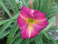 denivka Hemerocallis  'Siloam Royal Prince'
