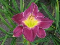 Hemerocallis  'African Grape' - denivka