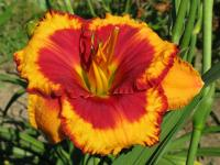 Hemerocallis  'Andy Candy' - denivka