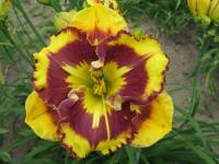 Denivka New Paradigm (Hemerocallis hybrida)