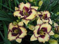 Denivka Open My Eyes (Hemerocallis hybrida)