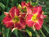 Denivka Painting the Roses Red (Hemerocallis hybrida)