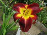 Denivka Persian Ruby (Hemerocallis hybrida)