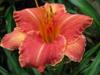 Denivka Pretty Fancy (Hemerocallis hybrida)