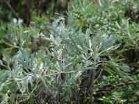 Oahu Wormwood - leaves (Artemisia australis)
