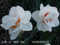 Narcissus  'Acropolis' - narcis