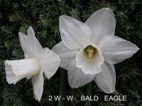 Narcissus  'Bald Eagle' - narcis