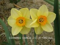 Narcissus  'Cosming Dance' - narcis
