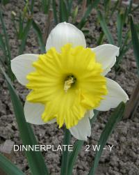 Narcissus  'Dinnerplate' - narcis