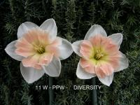 Narcissus  'Diversity' - narcis